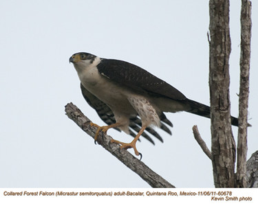 CollaredForestFalconA60678