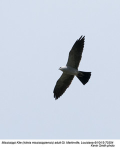 Mississippi Kite A70354