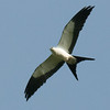 Swallow-tailed Kite A83622