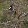 Bald Eagles P 64581