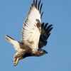 Rough-legged Hawk F64035