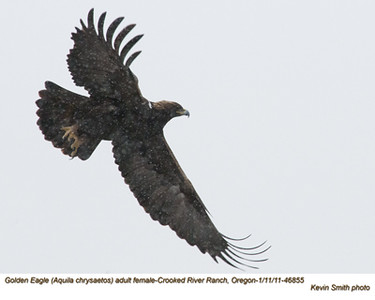 Golden EagleF46855