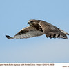 Rough Legged Hawk F78639