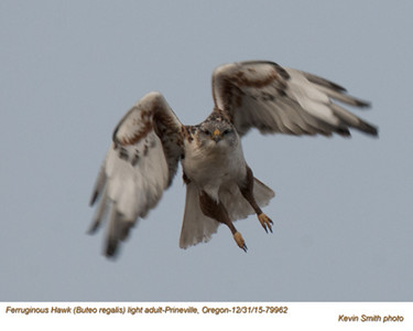 Ferruginous Hawk A79962