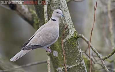 eurasian collared-dove (streptopelia decaocto)