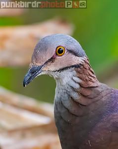 White-throated Quail-Dove (Geotrygon frenata)