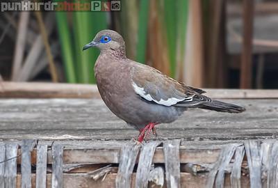 West Peruvian Dove (Zenaida meloda)