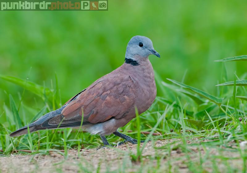 Red Turtle-Dove (Streptopelia tranquebarica)