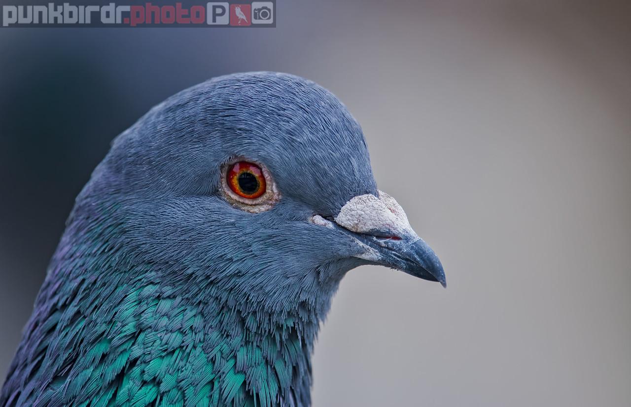 rock dove (columba livia)