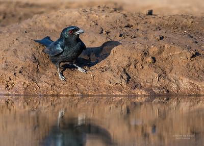 Fork-tailed Drongo, Mashatu GR, Botswana, May 2017-3