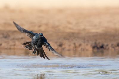 Fork-tailed Drongo, Mashatu GR, Botswana, May 2017-2