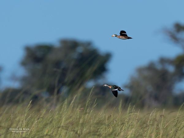 African Pygmy Goose, Eagle Island, Okavango Delta, Botswana, May 2017-8