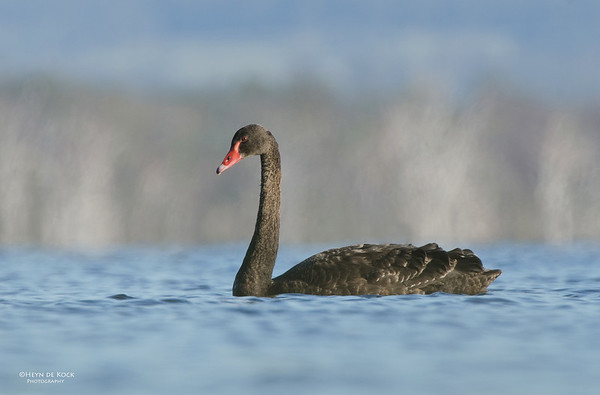 Black Swan, imm, Lake Claredon, QLD, Aus, Nov 2011