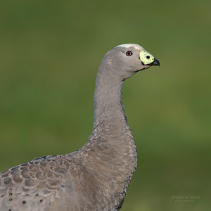 Cape Barren Goose, Eaglehawk Neck, TAS, Sept 2016-1