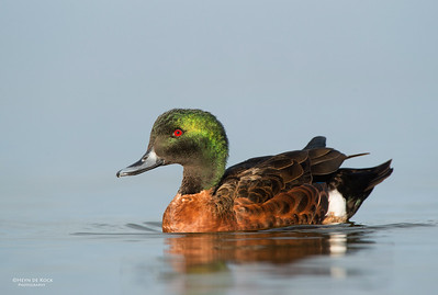 Chestnut Teal, Bellambi Lagoon, NSW, Aus, Jun 2013-1