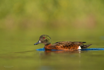 Chestnut Teal, Bellambi Lagoon, NSW, Aus, Jun 2013-3