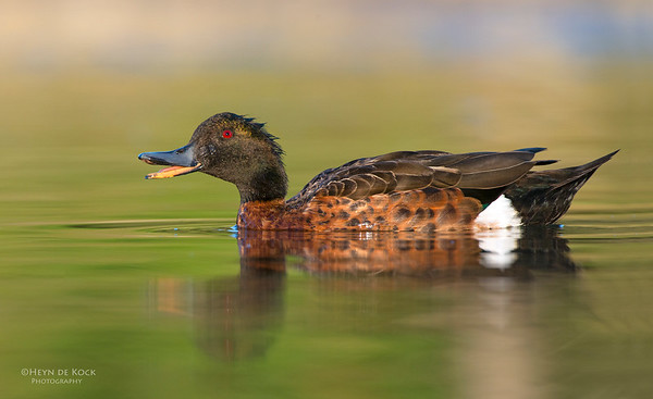 Chestnut Teal, Bellambi Lagoon, NSW, Aus, Jan 2014-1