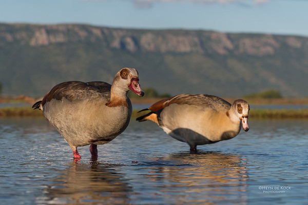 Egyptian Goose, Zimanga, South Africa, May 2017-12