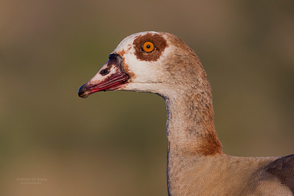 Egyptian Goose, Zimanga, South Africa, May 2017-3