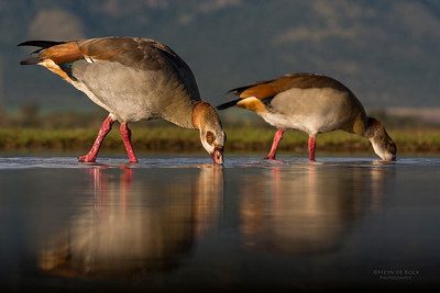 Egyptian Goose, Zimanga, South Africa, May 2017-8