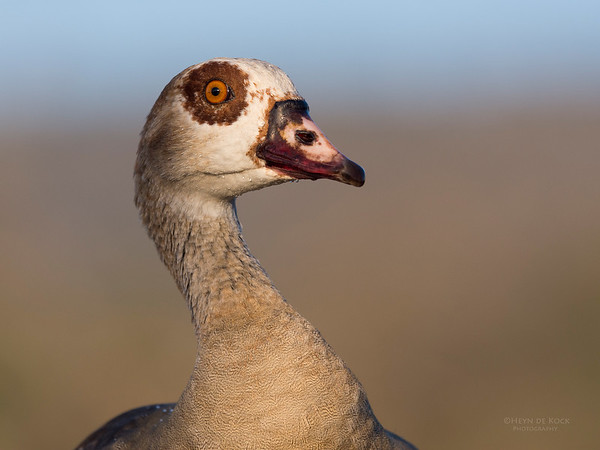 Egyptian Goose, Zimanga, South Africa, May 2017-4