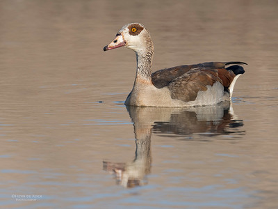 Egyptian Goose, Sabi Sands (EP), SA, Oct 2016-