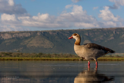 Egyptian Goose, Zimanga, South Africa, May 2017-7