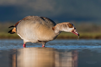 Egyptian Goose, Zimanga, South Africa, May 2017-11