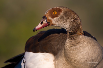 Egyptian Goose, Zimanga, South Africa, May 2017-6