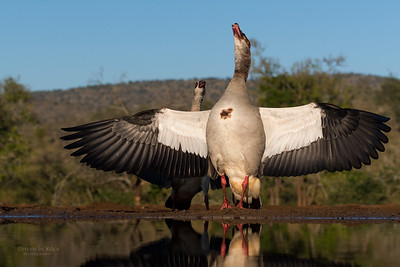 Egyptian Goose, Zimanga, South Africa, May 2017-10