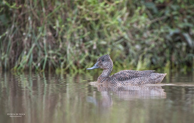 Freckled Duck, Arundal, QLD