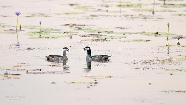 Green Pygmy-geese, Kakadu NP, NT, Oct 2010