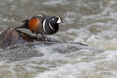 Harlequin Duck, Yellowstone NP, WY, USA May 2018-6