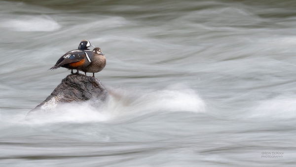 Harlequin Duck, Yellowstone NP, WY, USA May 2018-1