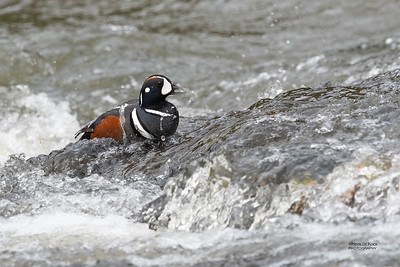 Harlequin Duck, Yellowstone NP, WY, USA May 2018-3