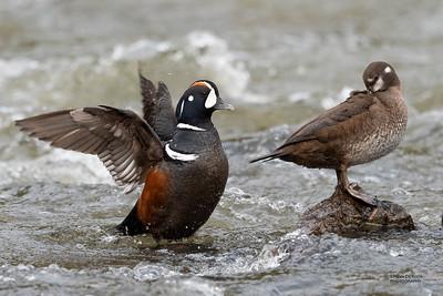 Harlequin Duck, Yellowstone NP, WY, USA May 2018-2