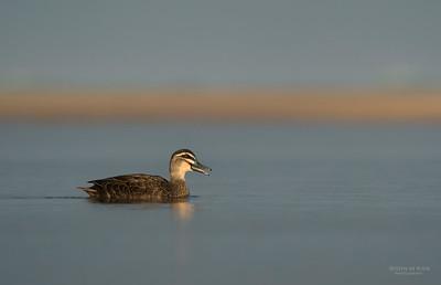 Pacific Black-duck, Bellambi Lagoon, NSW, Aus, Jun 2013