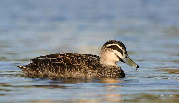Pacific Blackduck, Clear Island Waters, QLD, Aus-1
