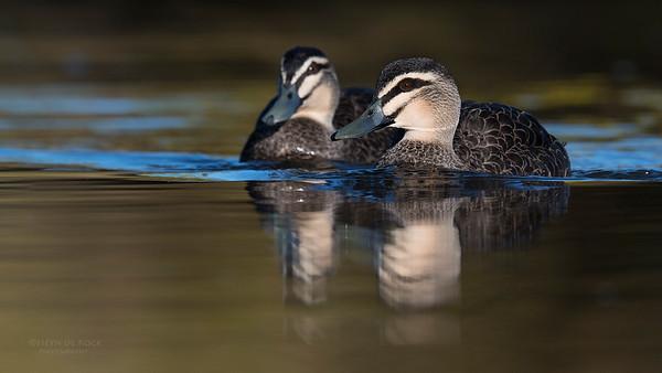 Pacific Black Duck, Bruny Island, TAS, Sept 2016-