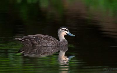 Pacific Black-duck, Tallai, QLD, Aus, Jun 2013-1