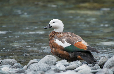 Paradise Shelduck, f, Monkey Creek, Fiordland NP, SI, NZ, Jan 2013
