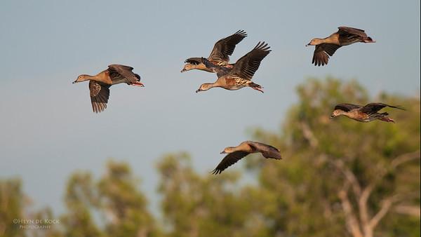 Plumed Wistling-ducks, Kakadu NP, NT, Oct 2010