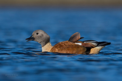 South African Shelduck, Hobhouse, FS, SA, Oct 2016-3