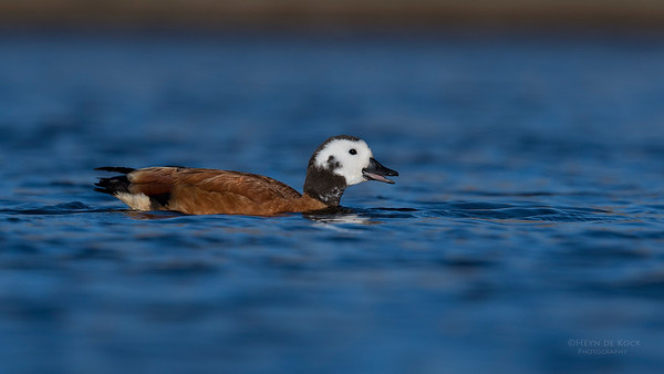 South African Shelduck, f, Hobhouse, FS, SA, Oct 2016-1