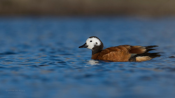 South African Shelduck, f, Hobhouse, FS, SA, Oct 2016-3