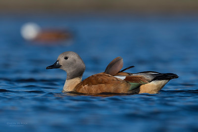 South African Shelduck, Hobhouse, FS, SA, Oct 2016-4