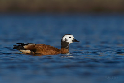 South African Shelduck, f, Hobhouse, FS, SA, Oct 2016-2