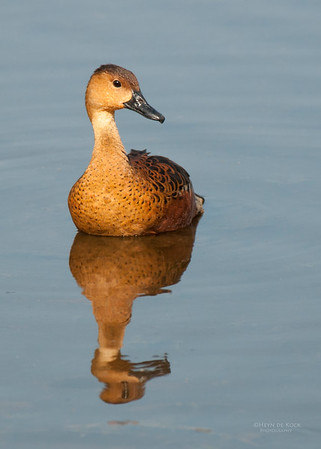 Wandering Whistling-Duck, Kakadu NP, NT, Oct 2010-1