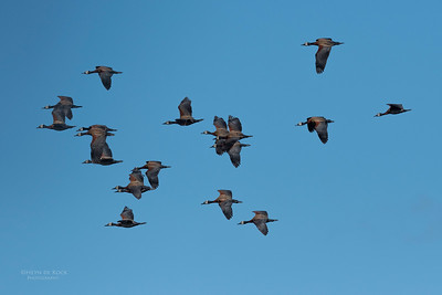 White-faced Whistling Duck, Eagle Island, Okavango Delta, Botswana, May 2017-5
