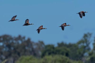 White-faced Whistling Duck, Eagle Island, Okavango Delta, Botswana, May 2017-4